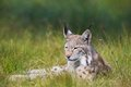 Lynx laying in the grass eurasian rests green Royalty Free Stock Photos