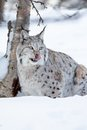 Lynx licking lips after eating food a european in the forest february norway Royalty Free Stock Images