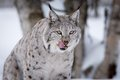 Lynx licking lips a european in the forest february norway Stock Photography