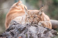 Lynx lying in zoo liberece in czech republic Stock Image