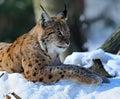 Lynx nell inverno Immagine Stock Libera da Diritti