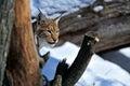 Lynx nell inverno Immagini Stock Libere da Diritti