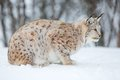 Lynx in a norwegian forest european the snow cold winter february norway Stock Photos