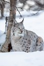Lynx in a norwegian winter forest european sits the snow cold february norway Royalty Free Stock Image