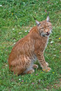 Lynx pardinus Royalty Free Stock Photography