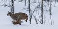 Lynx Royalty Free Stock Photo