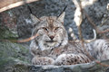 Lynx portrait closeup of beautiful on gray background Stock Image