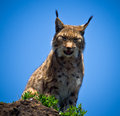 Lynx portrait of a sitting Stock Images