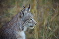 Lynx profile Royalty Free Stock Photo