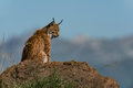Lynx in profile on rock looking down Royalty Free Stock Photo