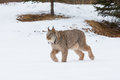 Lynx on prowl Royalty Free Stock Photo