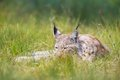 Lynx rests in the grass eurasian laying green Stock Images