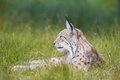 Lynx rests in the grass eurasian laying green Royalty Free Stock Images