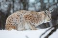 Lynx rests in the snow a european cold winter february norway Royalty Free Stock Photo