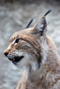 Lynx rufus profile portrait Royalty Free Stock Photo