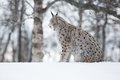 Lynx siitting in snow and looking european the a cold winter february norway Royalty Free Stock Image