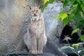 Lynx sitting Royalty Free Stock Photo