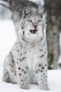 Lynx sitting in the snow and licking lips a european winter forest february norway Stock Photography