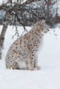 Lynx sitting under a tree european sittings in the snow cold winter february norway Stock Photos