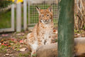 Lynx sitting in zoo liberec in czech republic Stock Photos