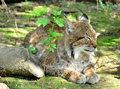 Lynx a sleepy european Stock Images