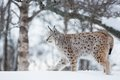 Lynx sneaking in the snow european a cold winter february norway Stock Image