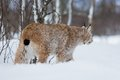 Lynx sneaks in the cold winter forest a european snow february norway Royalty Free Stock Photos