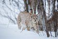 Lynx sneaks in the winter forest a european snow cold february norway Royalty Free Stock Photography