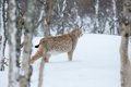 Lynx sneaks in the winter forest a european snow cold february norway Royalty Free Stock Photo