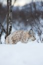 Lynx sneaks in winter landscape a european the snow cold february norway Stock Images