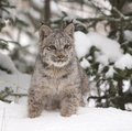 Lynx on Snow Stock Image