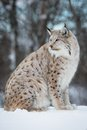 Lynx in the snow a european sitting cold winter february norway Stock Photography