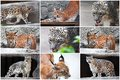 Lynx and snow leopard beautiful photos of big wild cats Stock Photography