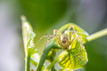 Lynx spider a close up of a jumping spider on green leaf Stock Photography