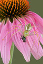 Lynx spider with fly on flower 2 Royalty Free Stock Images