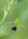 Lynx spider green peucetia viridans with prey Stock Photos