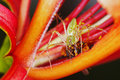 Lynx spider is hunting the sting less bee Royalty Free Stock Photos