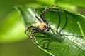 Lynx spider oxyopidae fspider have found in thailand bangkok Stock Photos