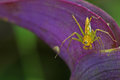 Lynx spider on the violet leaf is staying Stock Image