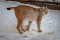 Lynx standing in the snow lying Royalty Free Stock Images