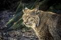 Lynx staring Royalty Free Stock Photo