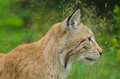 Lynx in summertime looking at something in the woods Stock Photography