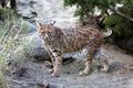 Lynx ten year old female north american which is also known as a bobcat Stock Photo