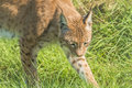 Lynx walking across grass close up Royalty Free Stock Photography