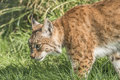 Lynx walking across grass close up Royalty Free Stock Image