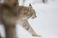 Lynx walking in snow a european the cold winter february norway Royalty Free Stock Images