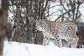 Lynx walking in the snow a european winter february norway Stock Photography