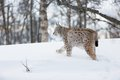 Lynx walking in the snow a european winter forest february norway Stock Photo