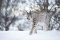 Lynx walks in the cold winter forest a european february norway Stock Photo