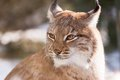 Lynx watching something in zoo liberec Royalty Free Stock Photos